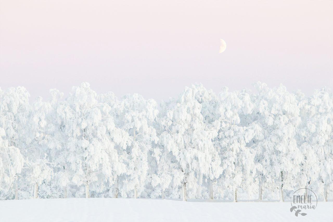 Vacker vinterbild av snötäckta träd med rosa himmel och halvmåne ovanför.