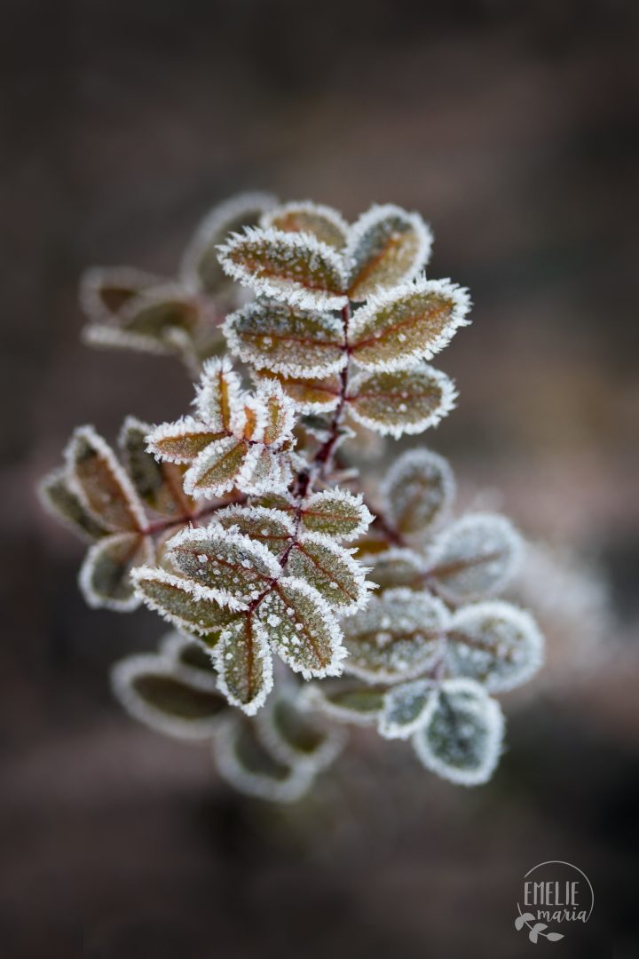 Frosty rose leafs